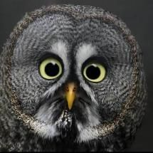 Animals of the night - Grey Owl; Posted by: cowboy