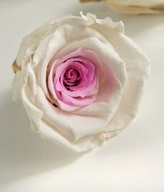 """Preserved Roses White & Pink Large 2.5"""" Roses (6 roses)"""