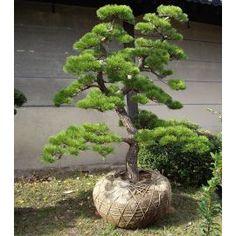 Pinus mugo Mughus  Acheter Vos Arbres chez le spécialiste du Jardin Zen français . ART Garden www.art-garden.fr