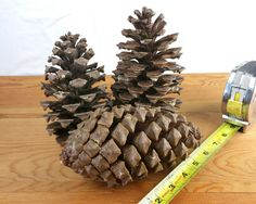 Natural Pine Cones  LARGE 6-8 Inches 3 Each Pack  by Eudaemonius