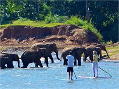 Stand Up Paddle Surf with elephants ♡