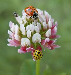 A yellow (possibly male) and red (possibly female) ladybugs on a clover blossom. It's not the color, but their size. That's how you can most accurately tell them apart.