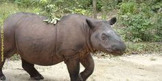 With fewer than 100 remaining in the wild, Sumatran rhinos are some of the most imperiled animals on the planet. (32678 signatures on petition)