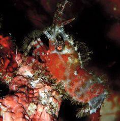 Common Marble Shrimp - by Charles Widirga  #reef #coralreef #ocean #seahorses #pods #aquarium #aquariums #saltwater #sealife #saltwaterfish #sea #tanked #jellyfish #marinelife