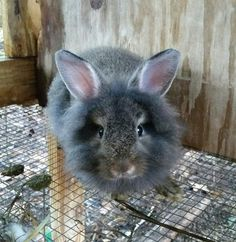 One of my lionhead rabbits.