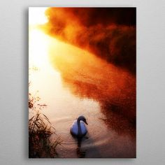Swan on river by Antony Robinson Swan, Posters, River, Interior Design, Metal, Painting, Art, Interior Design Studio, Art Background