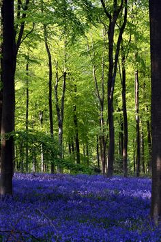 Feel the very slight breeze and hear the leaves whisper to each other. Beautiful  Bluebells, Westwood, Wiltshire, England