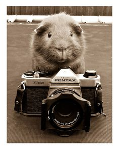 guinea pig and camera . . .who said they can't be professionals...