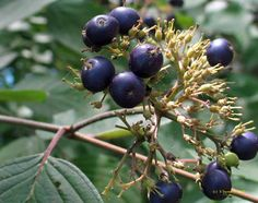 Native Shrubs and Small Trees for Southern New England