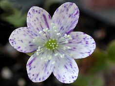 Hepatica nobilis 'Freckles'