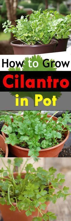 Learn how to grow cilantro in a pot. Growing cilantro in containers is not difficult all you need is to follow a few tips and fulfill a few growing requirements.