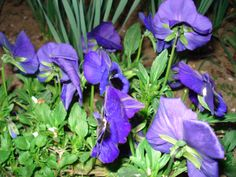 """Pansies are one of the oldest cultivated flowers in history and in the 19th century they were even used in """"love potions""""."""