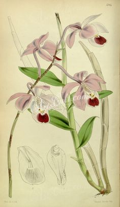 orchids-00249 Barkeria uniflora (as Barkeria elegans)  botanical floral botany natural naturalist nature flowers flower beautiful nice flora plants blooming ArtsCult.com Artscult ArtsCult vintage printable public domain 300 dpi commercial use 1800s 1700s 1900s Victorian Edwardian art clipart royalty free digital download picture collection pack paintings scan high qulity illustration old books pages supplies collage wall decoration