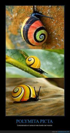 POLYMITA PICTA - Considerado el caracol más bonito del mundo Snail Art, Sea Snail, Snail Shell, Cool Insects, Bugs And Insects, Seashell Painting, Seashell Art, Curious Creatures, Woodland Creatures
