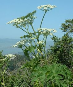Heracleum (plant) - Wikipedia, the free encyclopedia Cow Parsnip, Botanical Flowers, Trees To Plant, Garden, Plants, Gingko
