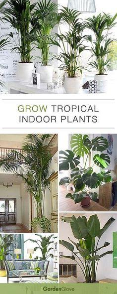 Faire pousser des plantes tropicales en intérieur. // Growing tropical plants indoors.