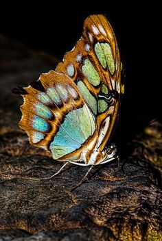 Malachite Butterfly (Siproeta stelenes) -- Central and Northern South America to South-eastern U. Flying Flowers, Butterflies Flying, Butterfly Kisses, Butterfly Flowers, Beautiful Bugs, Beautiful Butterflies, Moth Caterpillar, Butterfly Pictures, Bugs And Insects