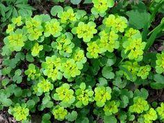 Селезеночник очереднолистный (Chrysosplenium alternifolium L.)