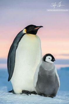 Emperor Penguin Familie.