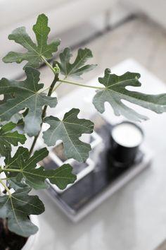 Fig tree, stylizimo home, concrete table
