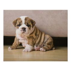 English bulldog puppies poster