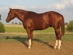 Pictures of Quarter Horses - Google Search