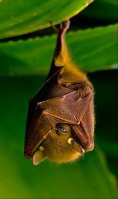 A bat peeking . A Fruit Bat hanging out Nature Animals, Animals And Pets, Baby Animals, Funny Animals, Cute Animals, Nature Nature, Wild Nature, Beautiful Creatures, Animals Beautiful