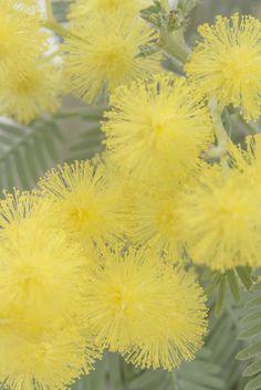 Stunning Yellow Mimosa