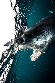 Mako Shark, South Africa | by: { Morne Hardenberg}