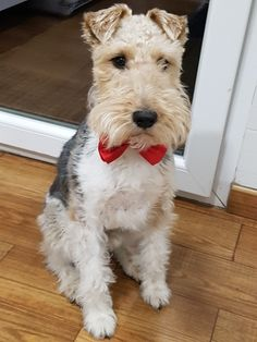 Pin by Deanna Zimmer on Wired Hair Fox Terriers | Pinterest | Fox ...