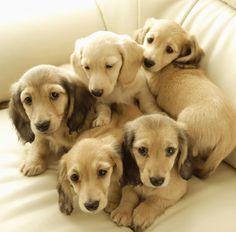 English Creme Dachshund puppies! Absolutely beautiful.