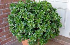 Fresco, Crassula Ovata, Jade Plants, Money Trees, Evergreen Shrubs, Feng Shui, Bonsai, Home And Garden, Herbs