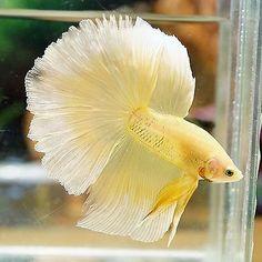 Live Betta Fish Male Fancy Marbled Yellow Butterfly Halfmoon HM