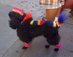 punk poodle