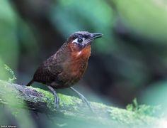 Song Wren - Cyphorhinus phaeocephalus