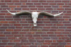 XL Longhorn schedel