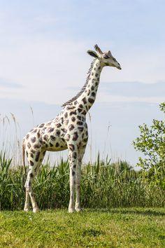 14ft painted giraffe metal sculpture from Pangea
