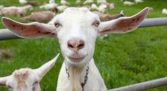 Why Homestead Goats Are Easier Than Cows And Better Than Chickens