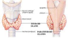 glandele paratiroide descriere, glandele paratiroide simptome, glandele paratiroide afectiuni, tratamente cu plante pentru glandele paratiroide Remedies, Plant