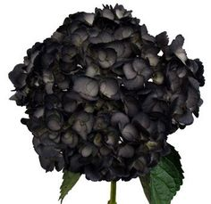 Black Hydrangea Flower | Fresh Cut Wholesale Black Hydrangeas For Weddings