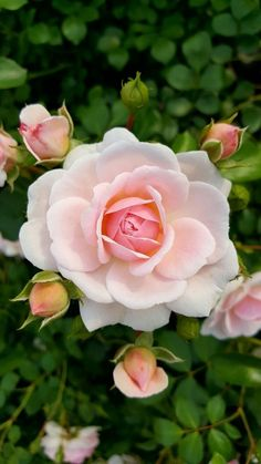Roses and rose buds in bloom
