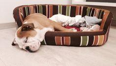 Sweet dream baby Bulldog