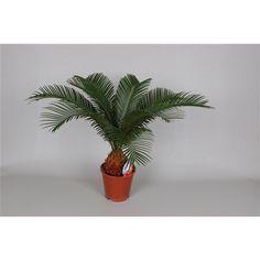 Cycas revoluta 6-9 blad