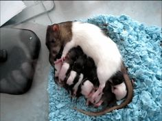 Rats Get A Bad Rap … But According To Science They're Actually Incredible Mamas