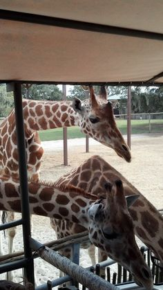 Giraffe Ranch in Dade City is only 1 hour from Orlando. They come right up to you and you get to feed them. The Places Youll Go, Cool Places To Visit, Visit Orlando, Dade City, Embassy Suites, Florida Hotels, Day Trips, Giraffe, Ranch