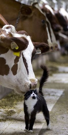 Dairy cows nuzzle a barn cat as they wait to be milked at a farm in Granby, Quebec Barn Animals, Animals And Pets, Cute Animals, Farm Photography, Animal Photography, Cow Cat, Holstein Cows, Dairy Cattle, Cute Cows