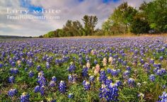 Albino bluebonnets in Leon Springs, TX .. Larry White Photography