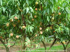 Controle das moscas-da-frutas