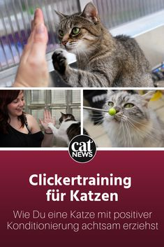 Katzen erziehen mit Clickertraining: Was ein Profi für den Start empfiehlt Cats behavior can be conditioned with clicker training. What do holders need to consider, what is needed for the launch? An expert tells it. Dog Clicker Training, Cat Harness, Cat Behavior, Cat Facts, Cat Supplies, Cat Memes, Training Tips, Dog Training, Animals And Pets