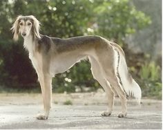 ***Saluki - large running area; eye problems, cancers, hypothyroidism; moderately easy grooming; challenging to train; better w/ older children